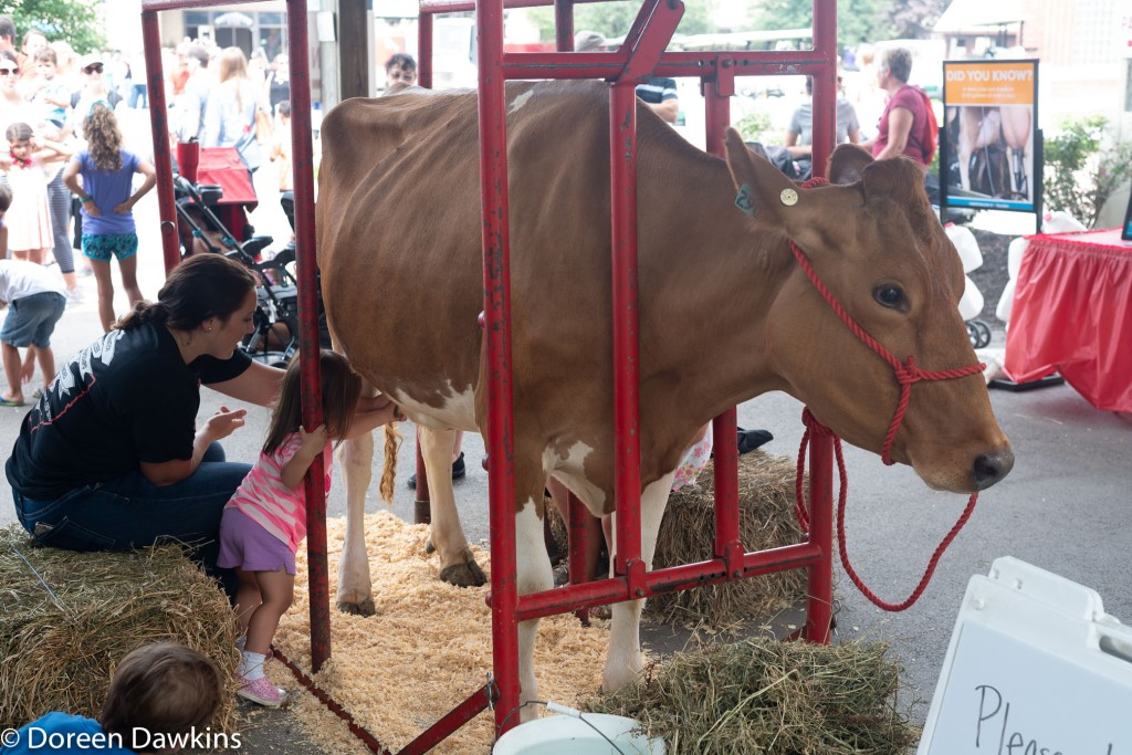 Milking a cow… at the Ohio State Fair