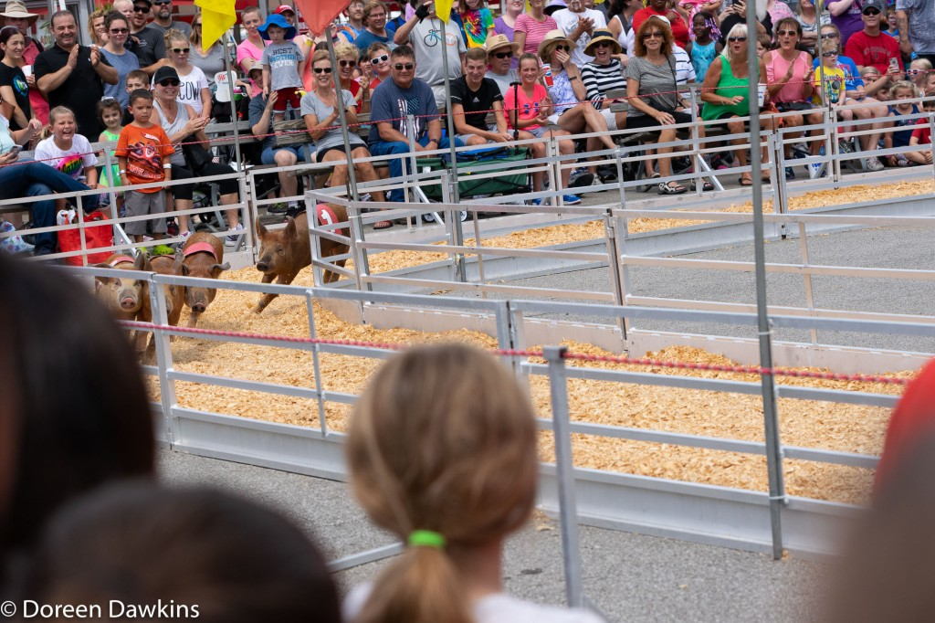 Pig races at the Ohio State Fair